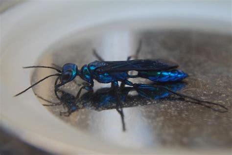 blue mud blue mud dauber i chlorion bugguide net