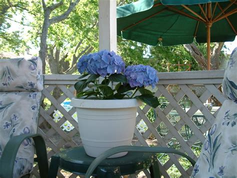how to grow hydrangeas the micro gardener
