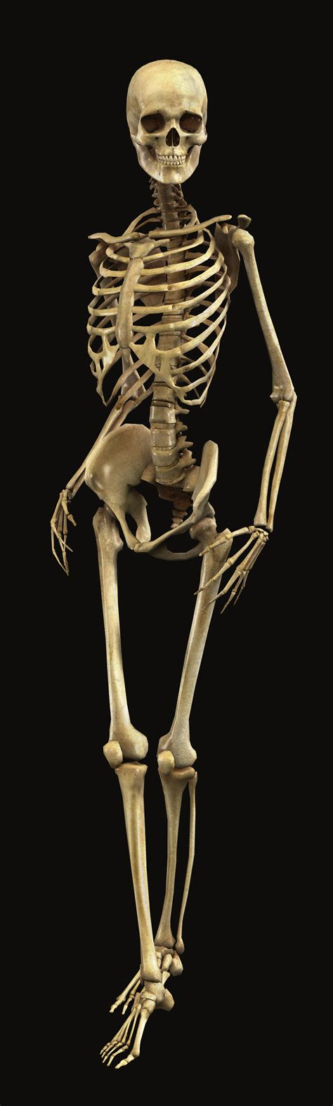 Bryan Brandenburg Official Human Skeleton