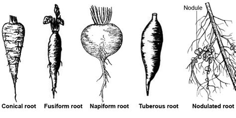 Modification Of Root by Modification In Root Kullabs