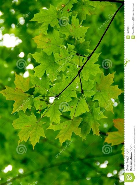 maple leaves green stock image image of leaves trees 1353825