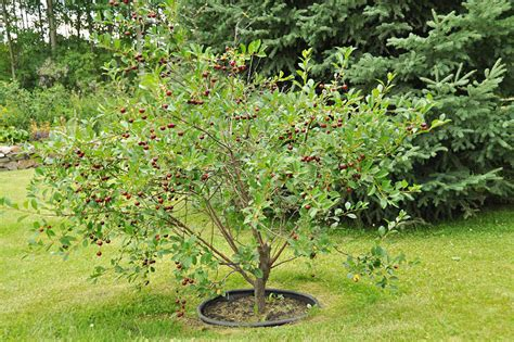 cherry tree sprout how to grow a cherry tree corner