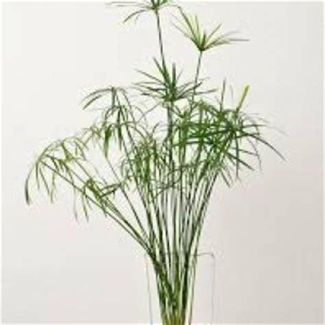 cultiver un papyrus en int 233 rieur
