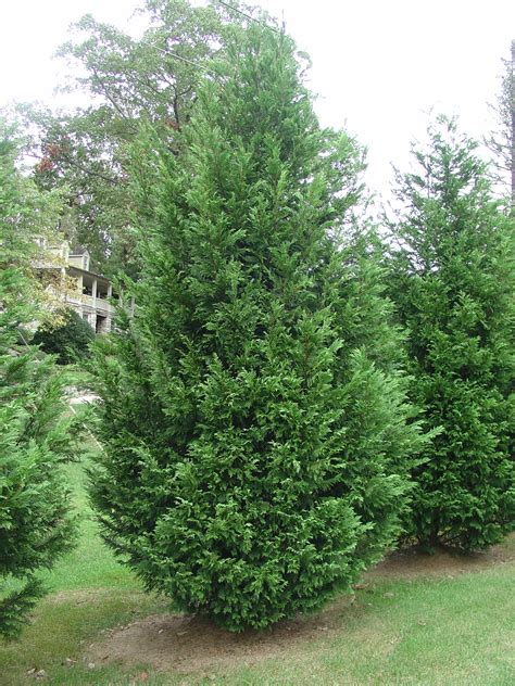 leyland cypress trees leyland cypress alternative tree for the south