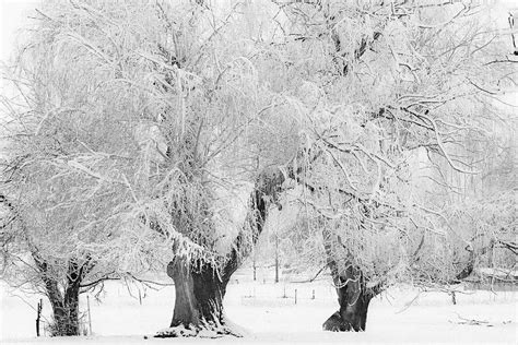 snow frosted tree three snow frosted trees in black and white photograph by