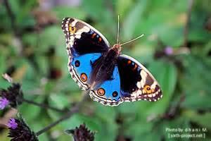 kupu kupu kupu kupu photo by mddhani photobucket