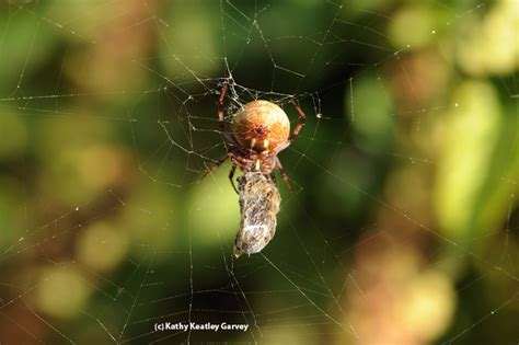 Garden Spider Hiss Bug Squad Agriculture And Resources Blogs