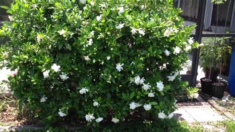 Gardenia Bush Gardenia Bush Sweet Smelling Flowers