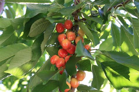 cherry tree identification identify cherry tree ask an expert