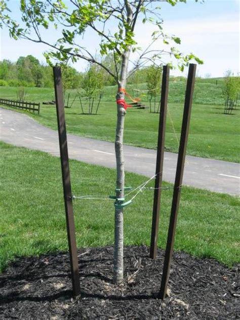 stake trees how to stake a tree backyard gardening