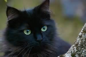 black cat and cats foundation