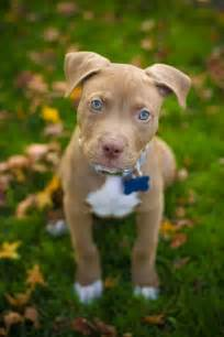 brown pit brown pitbull puppies with blue www pixshark
