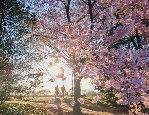 things to about the national cherry blossom festival in dc