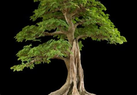 tropical tree types of bonsai trees