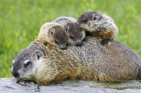 groundhog day information 画像 立ち姿がたまらん リス科最大の動物 ウッドチャック が可愛い naver まとめ
