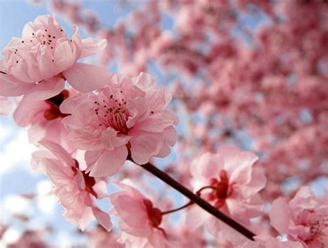 pretty in pink it s cherry blossom time in japan huffpost