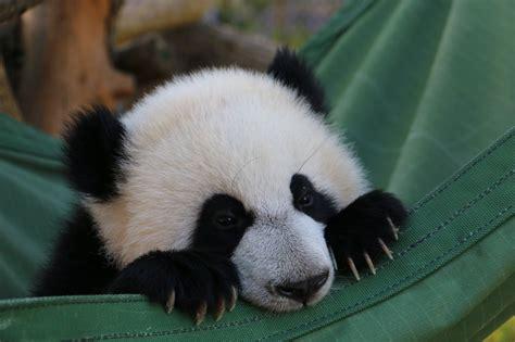 one panda at eight months toronto zoo panda cubs starting to