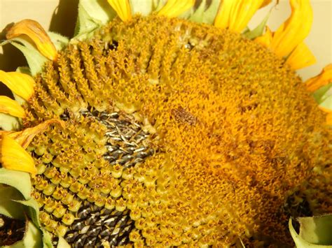 how seed are made thoughts from frank and fern of corn potatoes and sunflowers