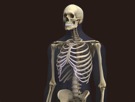 a skeleton zygote 3d skeleton model