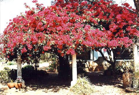 Garden Bulawayo File Bougainvillea Bulawayo Jpg Wikimedia Commons