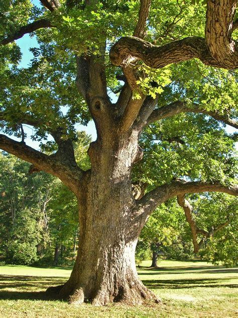 tree c file white oak tree elizabeth park west hartford ct