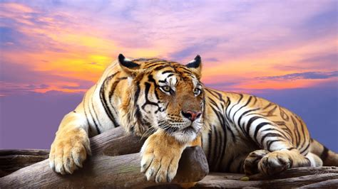 of tiger tiger animal pictures