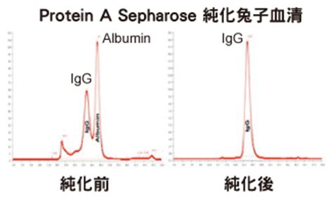 igg sepharose 抗體純化 protein a g l蛋白質 抗體純化相關產品 biovision 太鼎生物科技