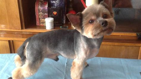 how to cut yorkie hair at home yorkie s summer haircut youtube