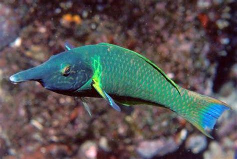 green bird wrasse green bird wrasse gomphosus varius saltwater fish for sale