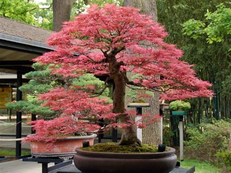 maple tree japanese what you to when growing and caring japanese maple bonsai tree beabeeinc