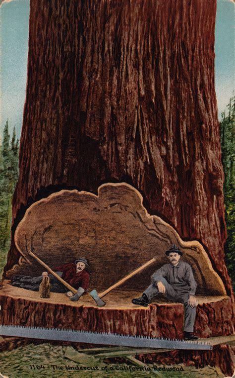 california woodworking redwood undercut postcard roundup