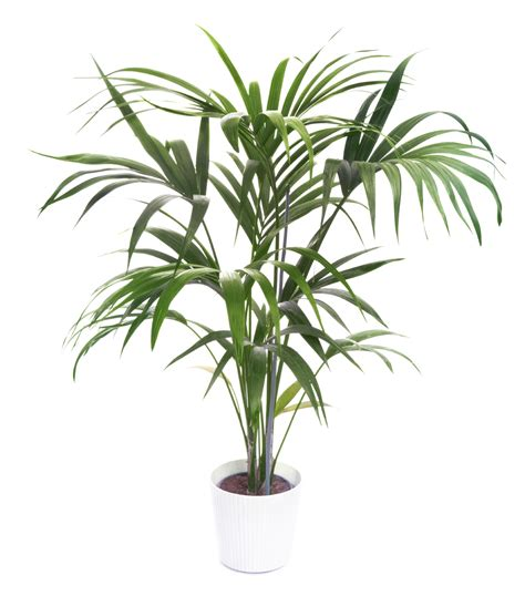indoor palm care of kentia palm tree indoors