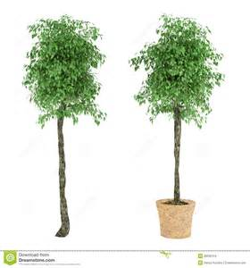 how to pot a tree plant tree in the pot stock illustration image