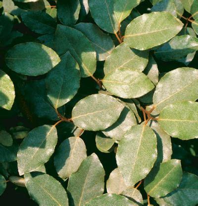 elaeagnus pungens fine gardening