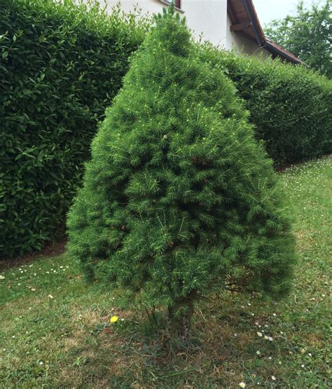 weihnachtsbaum topf weihnachtsbaum im topf kaufen pflegen auspflanzen
