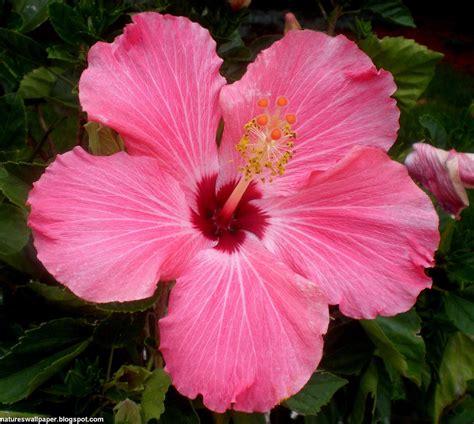 hibiscus flower hibiscus flower wallpaper free hibiscus flower