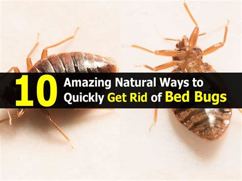 Get Rid Of Bed Bugs Fast by 10 Amazing Ways To Quickly Get Rid Of Bed Bugs