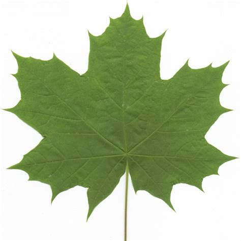 maple tree identification pictures leafs as actual leaves pension plan puppets