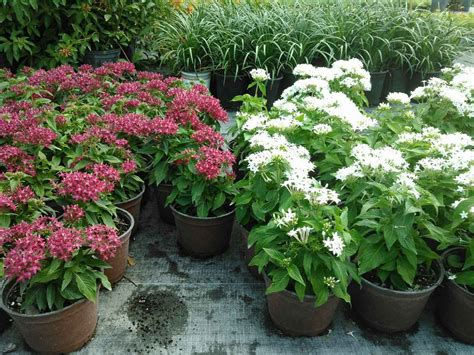 Red Fox Nurseries by Locate Amp Find Wholesale Plants Plantant Com