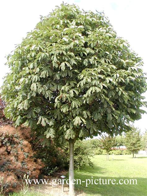 Picture and description of Aesculus hippocastanum 'Pyramidalis'