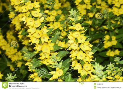 yellow garden flower yellow garden flowers stock photo image 42020478