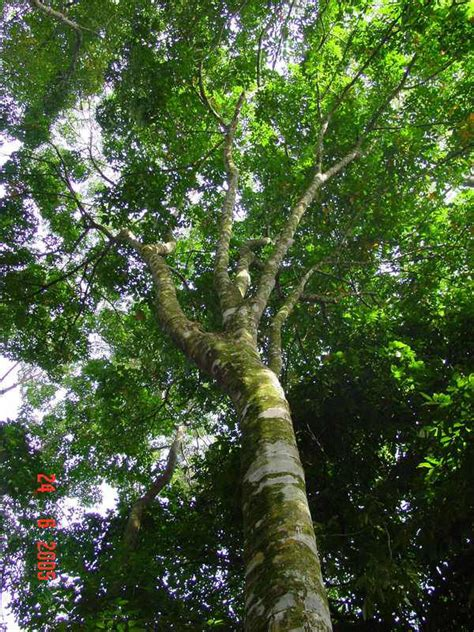 tree of rubber st rubber tree rainforest www pixshark images