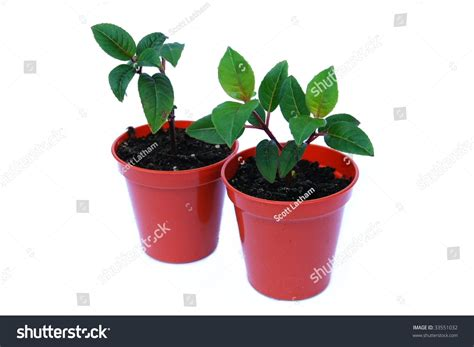 two small fuchsia plant seedlings growing in pots isolated on white background stock photo