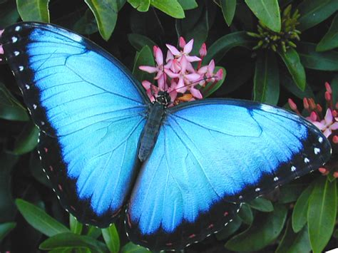 a butterfly could farming or ranching butterflies save species