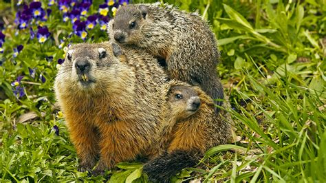 groundhog day hd groundhog photos and facts