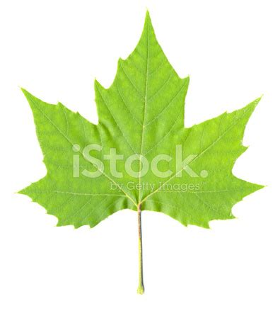green maple tree leaf isolated stock photos freeimages
