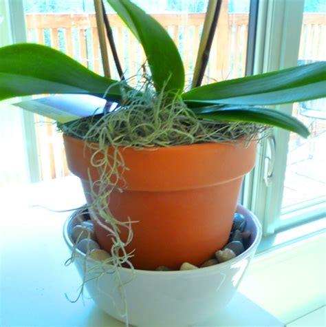 entretien d arrosage et soins pour refleurir l orchid 233 e phalaenopsis dans notre maison