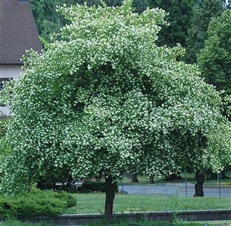 hawthorne tree washington hawthorn tree seeds ebay