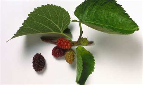 Stumped? Mulberry trees, plus cats use our herb bed as a