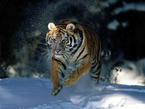 of tiger backgrounds archive tiger pouncing